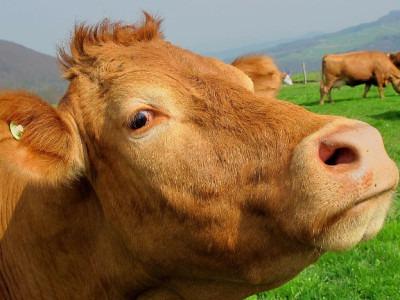 Parmigiano Reggiano: filiera e benessere animale